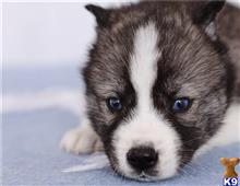 siberian husky puppy posted by btulabut811