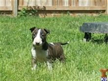 bull terrier puppy posted by bull terrier fino