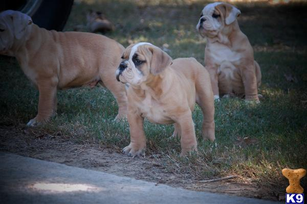 English+bulldog+puppies+for+sale+in+alabama