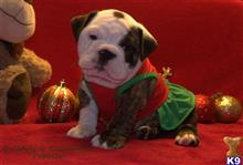english bulldog puppy posted by bulldogsandballerinas
