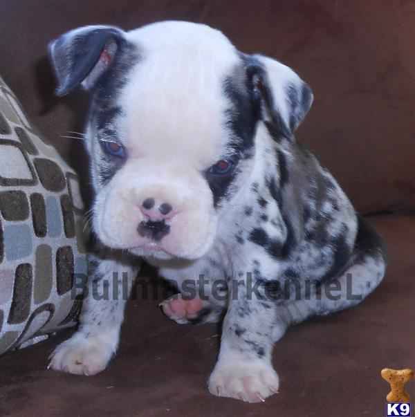 Old English Bulldog Puppy For Sale Sold Exotic Blue Merle