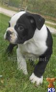 old english bulldog puppy posted by bullmasters