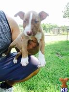 bull terrier puppy posted by bullterrierbryan
