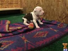 american pit bull puppy posted by bullys2012
