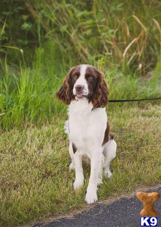 English Springer Spaniel Stud Dog: Bo 4 Years old