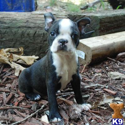 boston terrier puppy posted by buypuppylove
