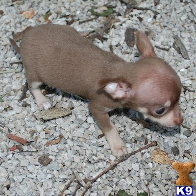 chihuahua puppy posted by buypuppylove