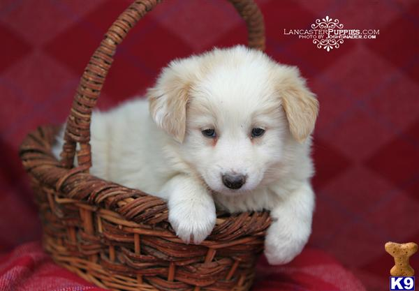 border collie puppies. Border Collie Puppies