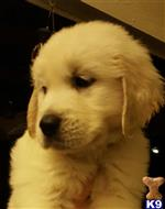 golden retriever puppy posted by cacosta