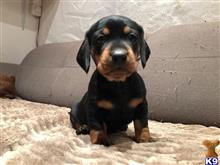 dachshund puppy posted by carino