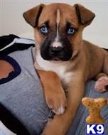 boxer puppy posted by carsonios