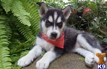 siberian husky puppy posted by casandrawoody7