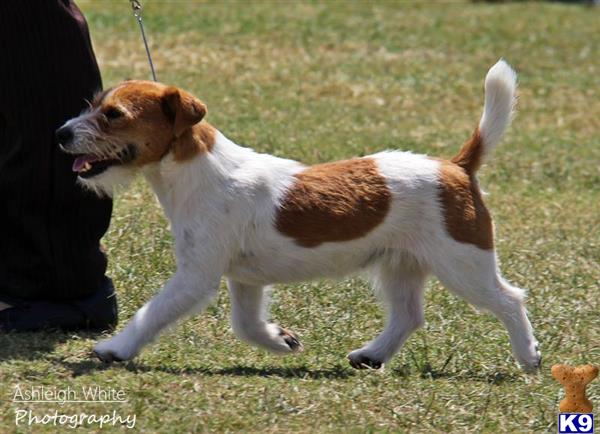 cashortjackrussells Picture 1