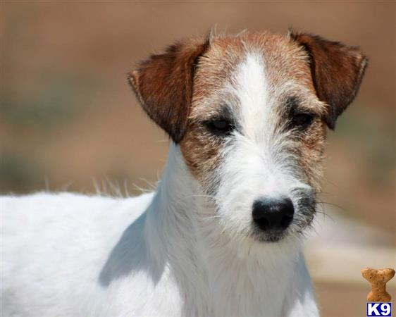 cashortjackrussells Picture 2