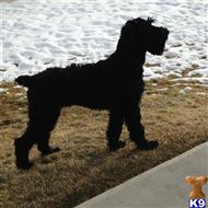 giant schnauzer puppy posted by castlerock003