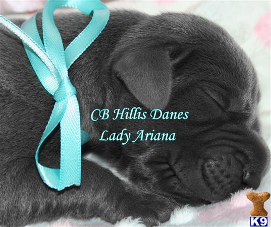 Lady Ariana ~ 100 Euro ~ German Imported Parents ~ Multi-International Champion Lines