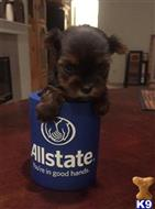 yorkshire terrier puppy posted by cborunda13