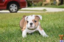 english bulldog puppy posted by cbrigman