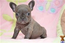 french bulldog puppy posted by cbrigman