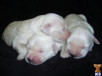 golden retriever puppies for sale in wisconsin. Golden Retriever Puppies