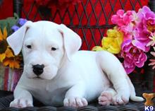dogo argentino puppy posted by cederickeware