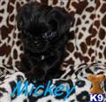 brussels griffon puppy posted by celegance