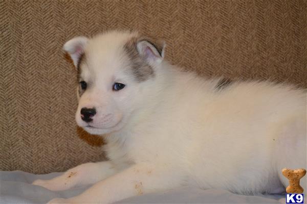 Image Result For Siberian Husky Breeders In Va