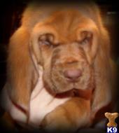 bloodhound puppy posted by central ky hounds