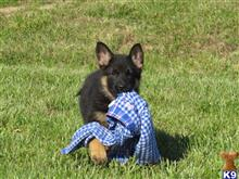 german shepherd puppy posted by centuryfarms