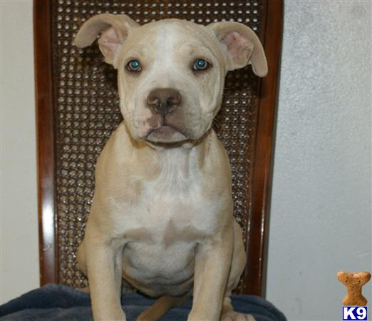 american pit bull puppy posted by cesarv7406