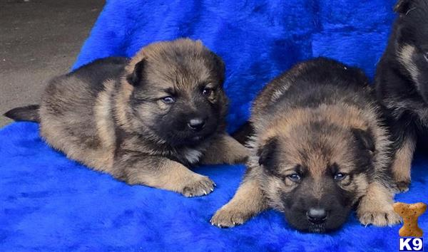 german shepherd puppy posted by cgascon