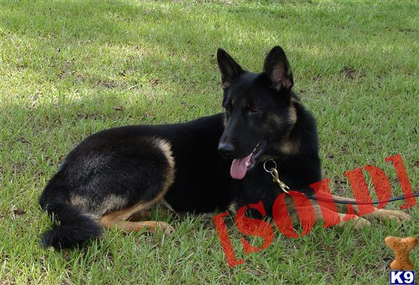 Dutch Shepherd Personal Protection For Sale Byron California Image ...