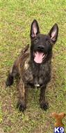 dutch shepherd puppy posted by cgascon
