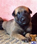 belgian malinois puppy posted by cgascon