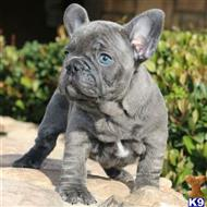 french bulldog puppy posted by chabelopepito