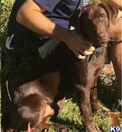 Labrador Retriever Stud Dogs