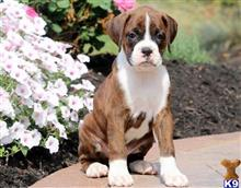 boxer puppy posted by chanakesly1