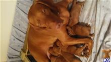 vizsla puppy posted by charleen