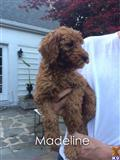 poodle puppy posted by charlene418