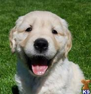 golden retriever puppy posted by charlesroth56
