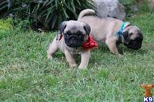 pug puppy posted by charlesroth56
