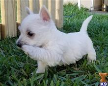 west highland white terrier puppy posted by charlesroth56