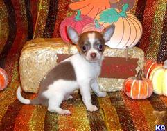 chihuahua puppy posted by chichibabies
