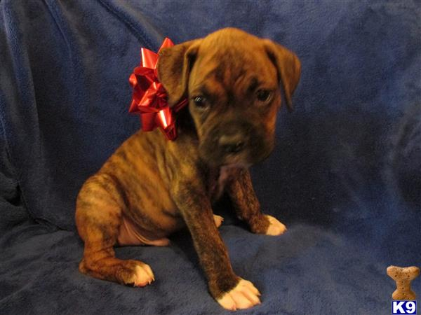 boxers puppies for sale in oklahoma boxer puppy posted by chrisrobb 6055