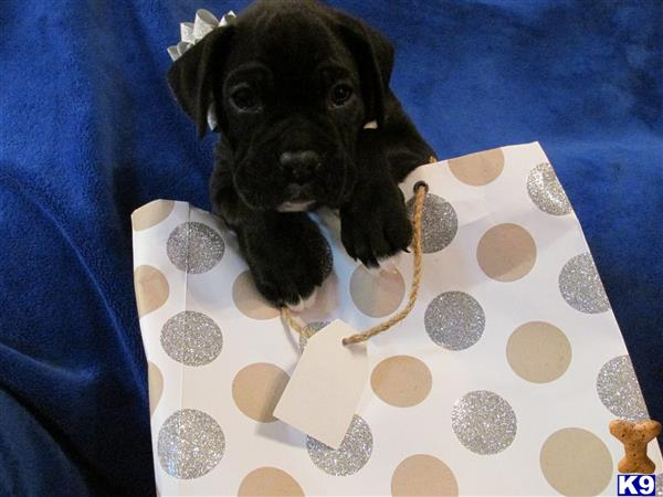 boxers puppies for sale in oklahoma boxer puppy posted by chrisrobb 1131