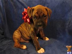 boxer puppy posted by chrisrobb