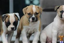 american bulldog puppy posted by christie9416