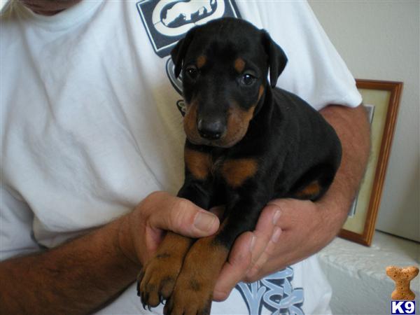 doberman puppies for sale. reeders, puppiesdoberman