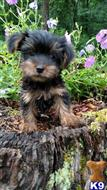yorkshire terrier puppy posted by cjfarmer