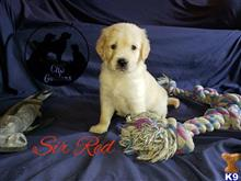 golden retriever puppy posted by cksgoldens